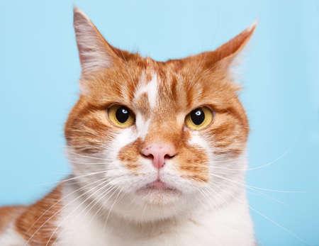 파란색 배경에 생강 tabby 고양이입니다.
