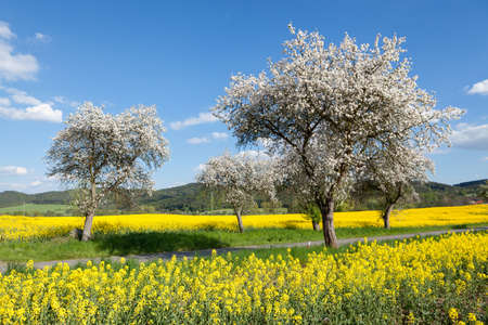 Flowering trees in field of yellow rapeseed during spring Stock Photo