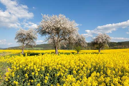 봄 동안 노란 유채의 분야에서 꽃 피는 나무