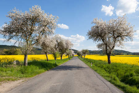 Empty road lined with flowering trees at the edge of fields of yellow rapeseed during spring