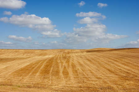 swelter: Golden field and clear blue sky