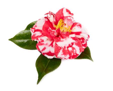 camellia: camellia in full bloom, on white background Stock Photo