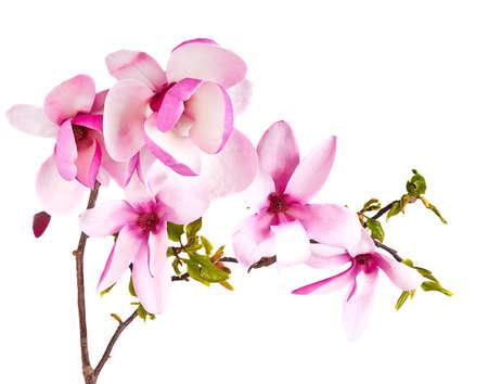 magnolia soulangeana: magnolia flower on white background