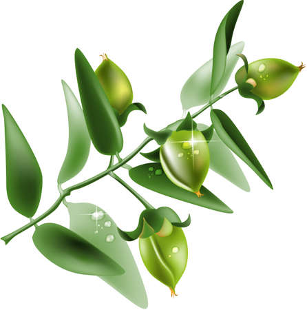 Jojoba on white background  Ilustracja