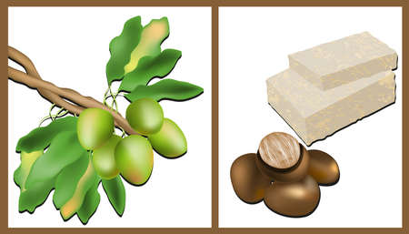 natural soap:  Branch of the Shea tree, Shea nuts and Shea Butter Illustration