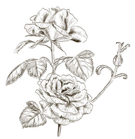 hand drawn rose: Hand drawn rose  Illustration