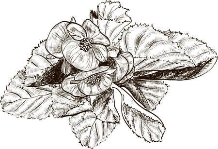 begonia: Hand drawing begonia flowers Illustration
