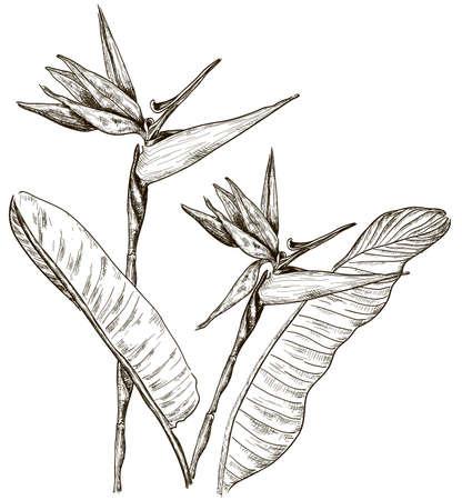 Aves del paraíso de flores en el estilo de dibujo