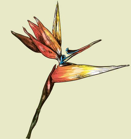 birds of paradise: Bird of Paradise Flower  Illustration