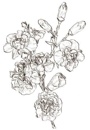 sketch of flower carnation