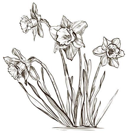 水仙の花や水仙の花  イラスト・ベクター素材