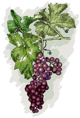 woodblock: engraving grapes on the branch Illustration