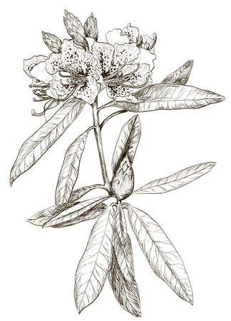 laurier rose: Vecteur Croquis de Oleander fleurs Illustration