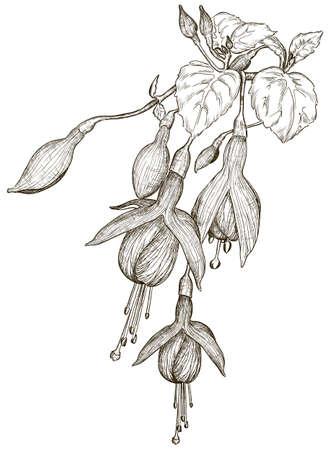 flores fucsia: Bosquejo de flores fucsia