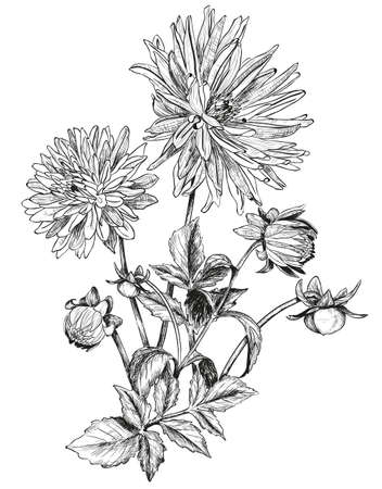 aster: Sketch of bouquets of Beautiful flowers of Garden asters