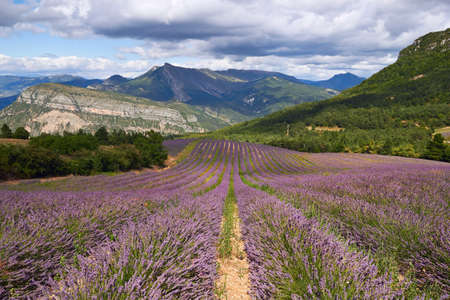 lavendin: Lavender field, France, mountains  in Provence Stock Photo