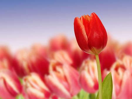 flowering field: Spring Red tulip on a flowering field Stock Photo