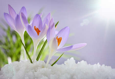 The first spring flowers crocuses in a forest with snow stock photo the first spring flowers crocuses in a forest with snow stock photo picture and royalty free image image 37300972 mightylinksfo