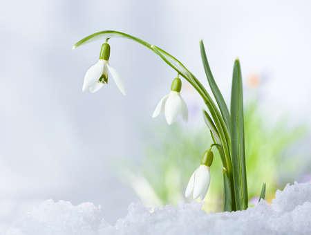 Beautifull Spring snowdrop flowers on snow background
