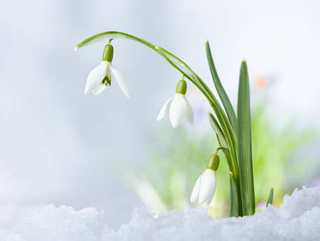 Beautifull Spring snowdrop flowers on snow background