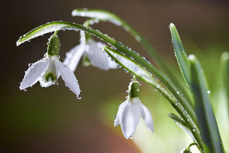 Spring snowdrop flowers with dewdrops