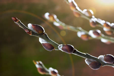spring bud: Willow branch with catkins. Spring concept Stock Photo