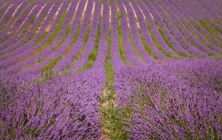 lavendin: Lavender field in Provence, France. Countryside view Stock Photo