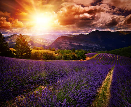 flowers field: lavender field Summer sunset landscape with contrasting colors
