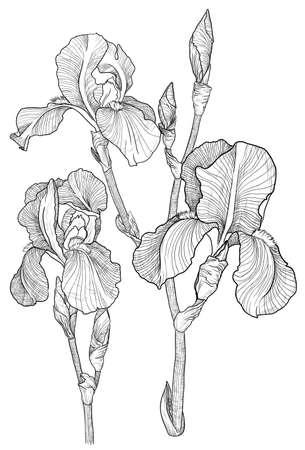 Vecteur Croquis du bouquet d'iris en fleurs Illustration