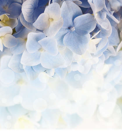 hydrangea floral background with a blurred light Stock Photo