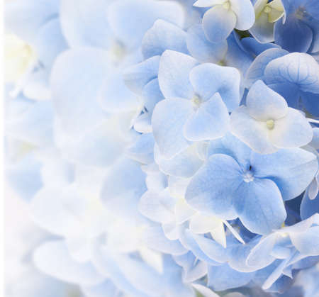 hydrangea floral background in pastel blue colors