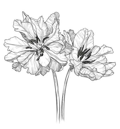 encyclopedias: vector illustration of tulips on a white background Illustration