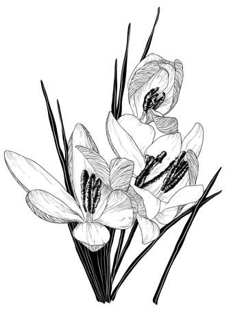 Vector sketch of blooming crocus flowers