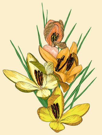 crocus: Vector illustration of yellow crocus flowers Illustration