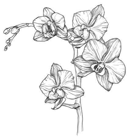 flower illustration: sketch of Orchid flower blossom