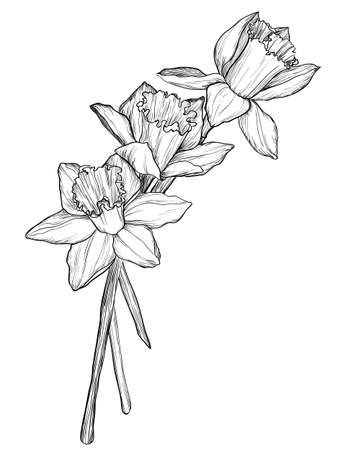 jonquil: sketch of narcissus flowers blossom