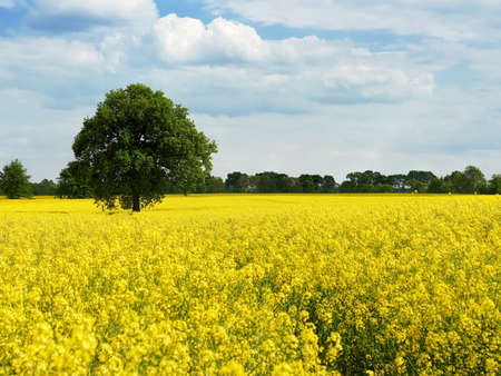 Beautiful field with single green tree and yellow flowering plants. View at sunny day