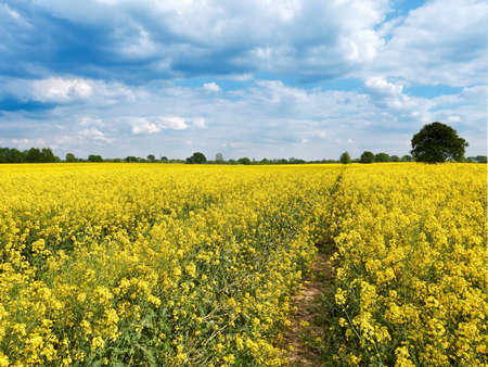 Field with beautiful flowering yellow plants. Countryside