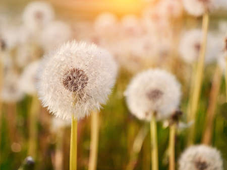 A Lot of Fluffy white dandelions. Glade of dandelions in sunligh Stockfoto