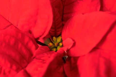 Red Poinsettia image. Beautiful Christmas flower petals Stockfoto - 117132588