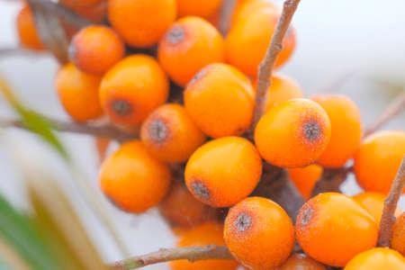 Beautiful orange sea buckthorn on a branch.