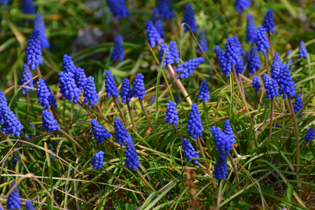 April flowers, Grape hyacinth (Muscari)-Prague, Czech republic