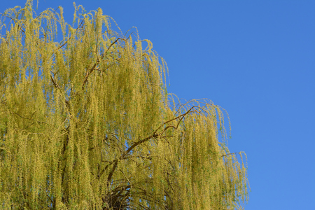 Weeping willow tree and blue sky-Prague, Czech republic