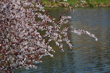 Cherry blosssom on the waterfront-Prague, Czech republic