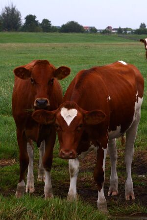 Cow has a heart symbol - Netherlands 写真素材