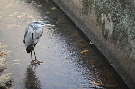 Gray heron on an iced stream - Himeji, Japan