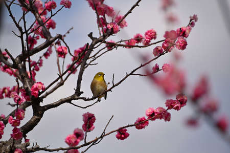 Spring come to Japan - nightingale on plum branch