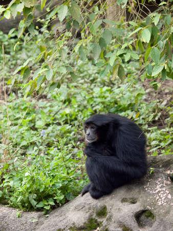siamang: A siamang sitting on a rock contemplating