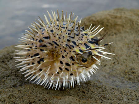 A angry, puffing blowfish on a beach rock