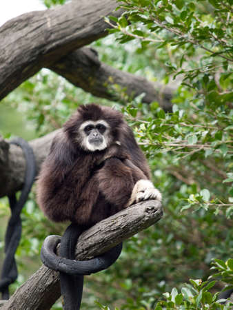 gibbon: A white handed gibbon standing in its perch, staring at the camera